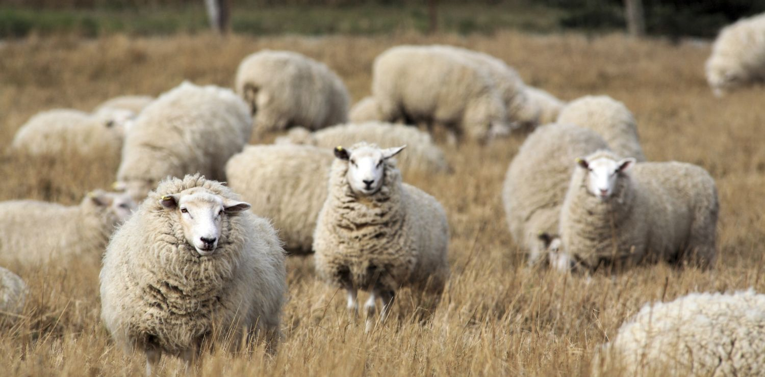 Sheep's wool, a natural product with style and endurance
